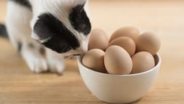 chat oeufs