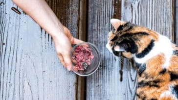 chat mange pâtée