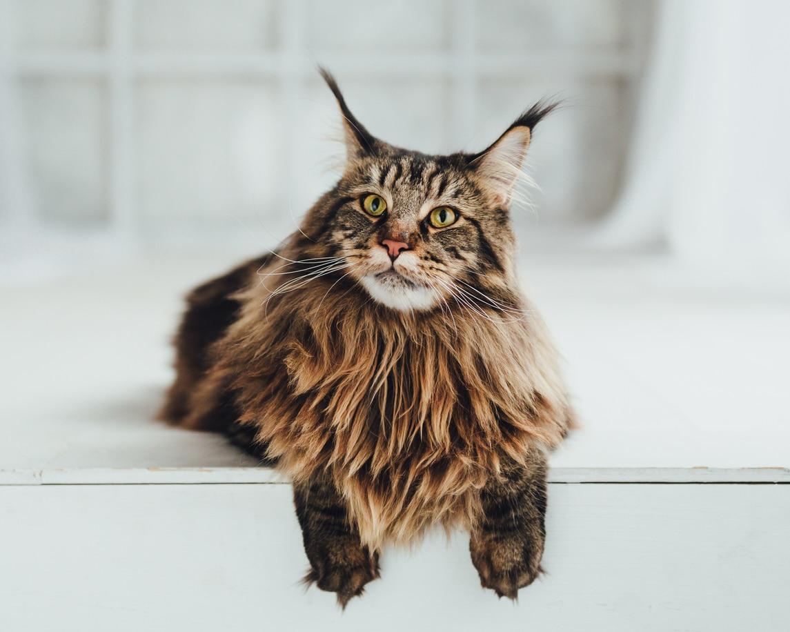 chat avec oreilles de lynx
