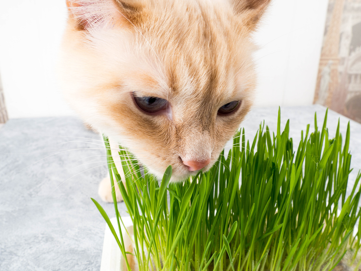 herbe à chat cataire