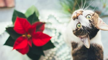 chat poinsettia