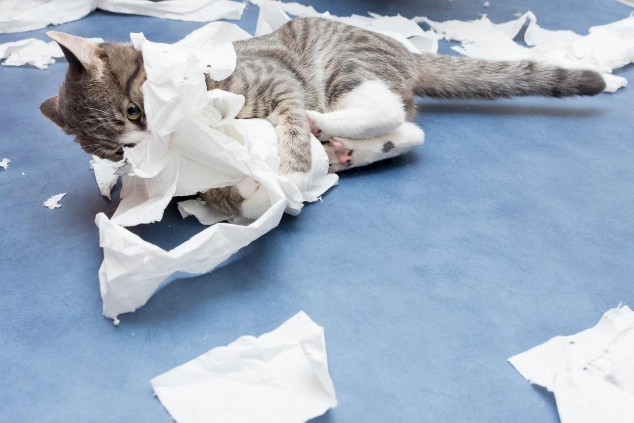 chat déchiquète papier toilette