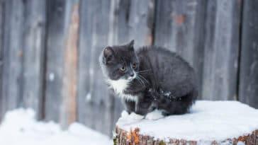 chaton glace