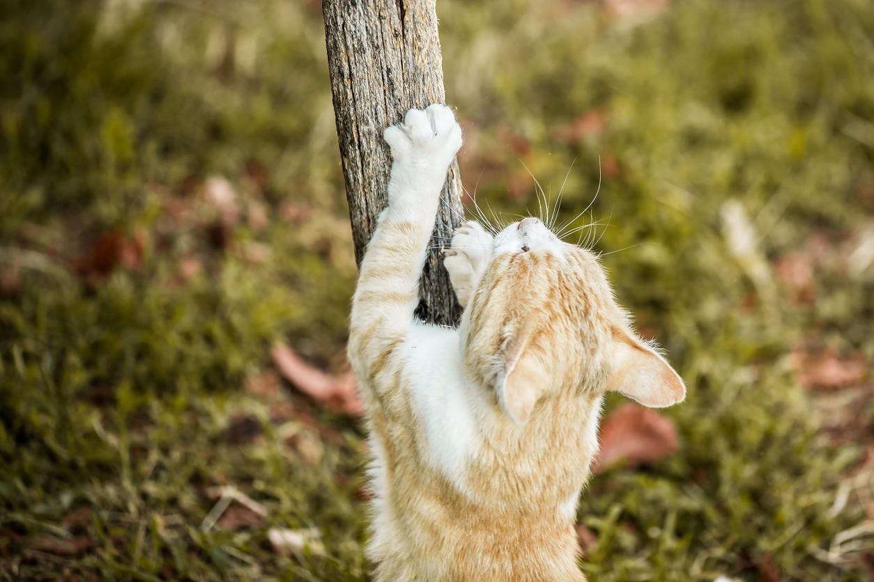 chat fait ses griffes