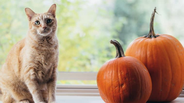 chat citrouille