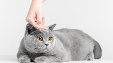 chat oreilles chaudes
