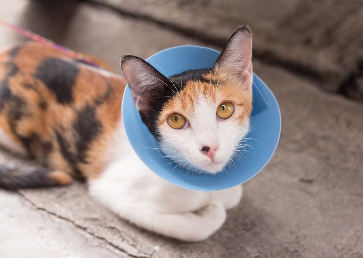 chat malade cone collerette