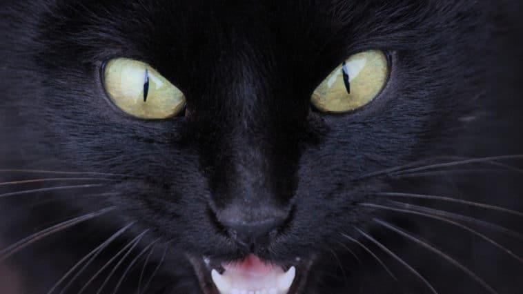 chat noir yeux colère