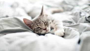 chat gris endormi dort couché