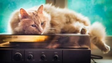 chat musique sieste