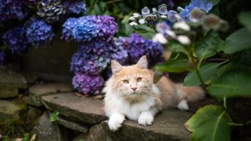 chat fleur hortensia toxique