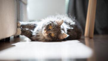 chat griffe canapé couché