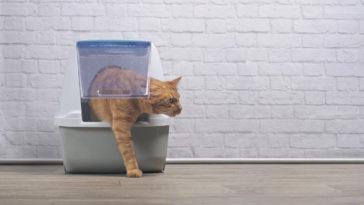 chat roux litière