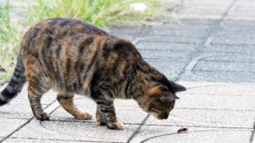 chat guêpe