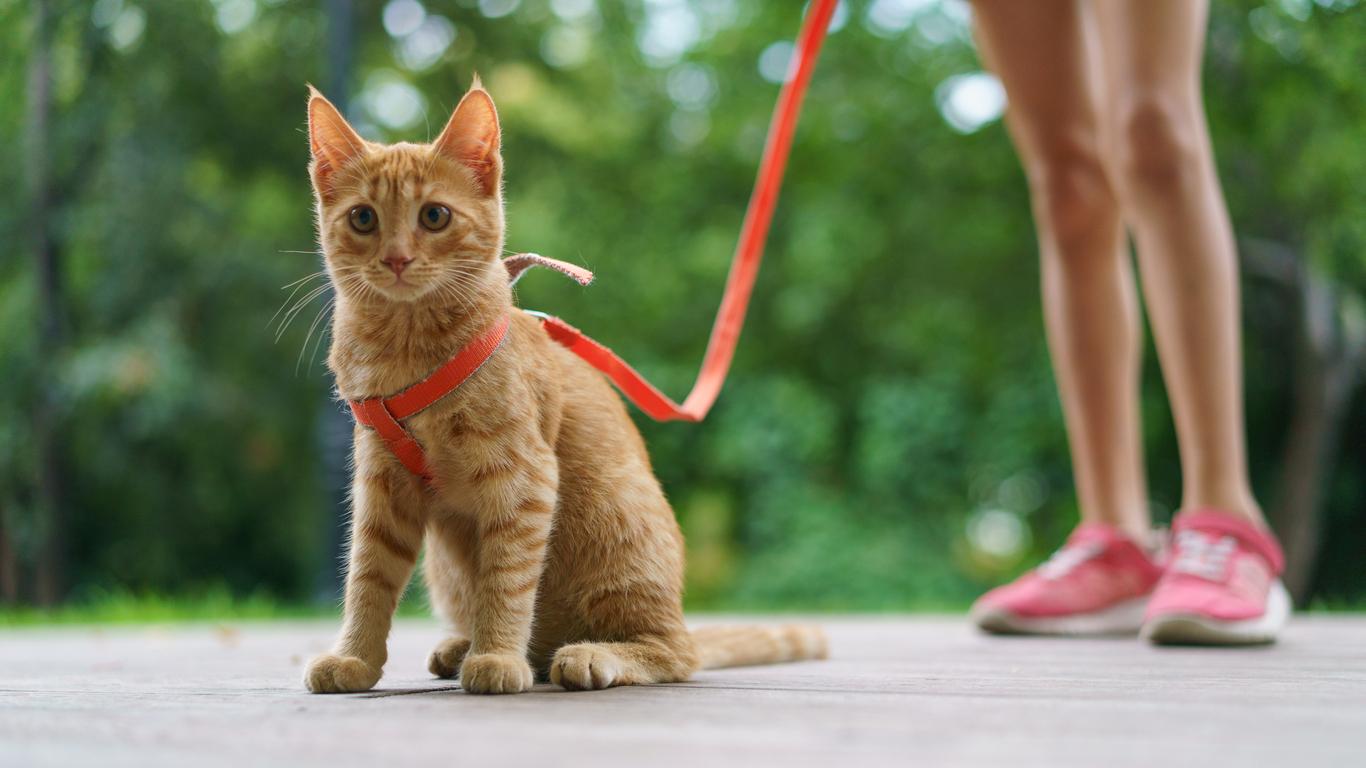 chat promenade en laisse